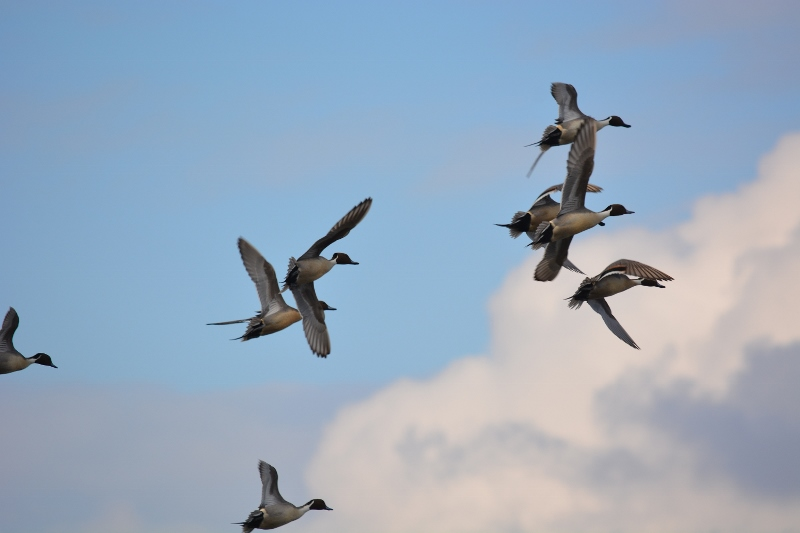 Pintails taking flight. Scenes like this were common during the 1950s. Photo by Kathy Callan.