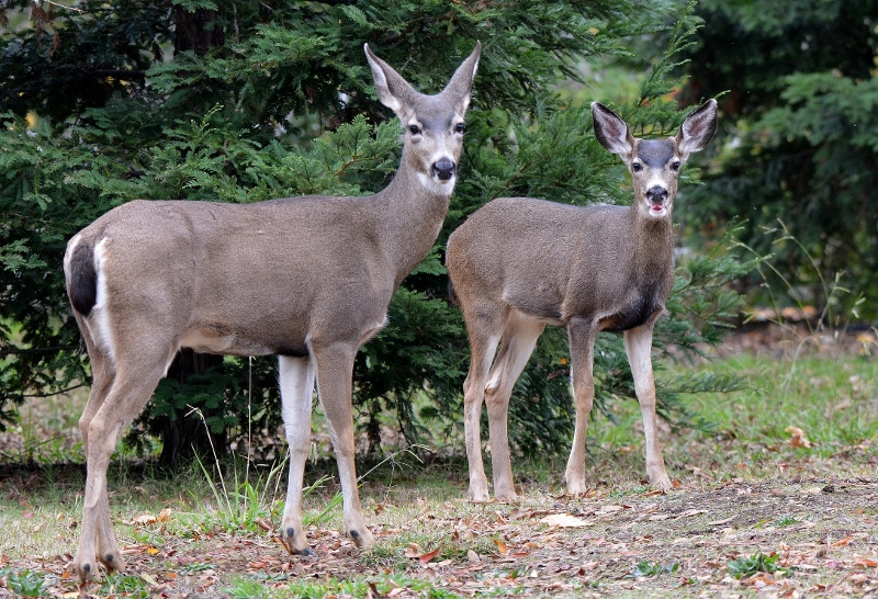 In six months, our tiny spotted fawn grew into a magnificent pre-adult buck, almost as large as his mother.