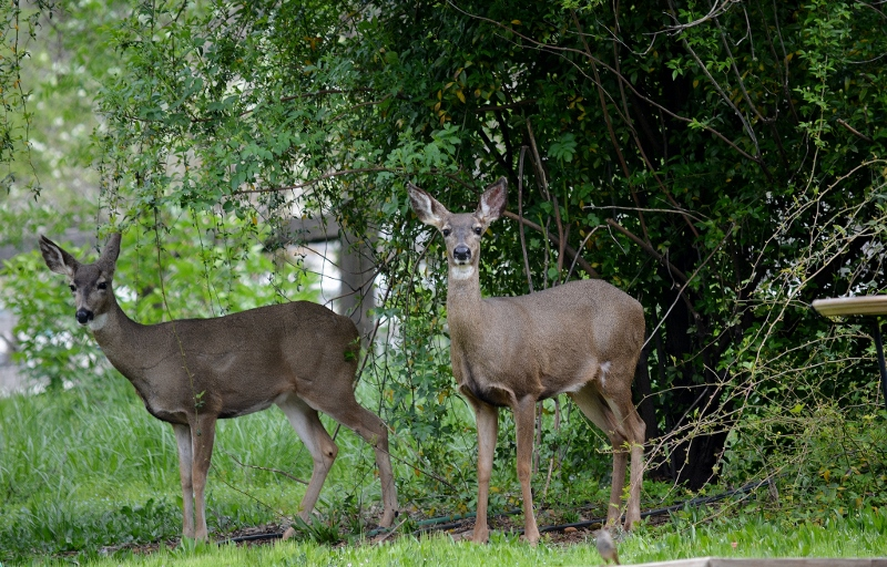 These two does arrived in March and remained until June. The slightly larger doe left for good while the other returned and raised her fawn in our backyard.