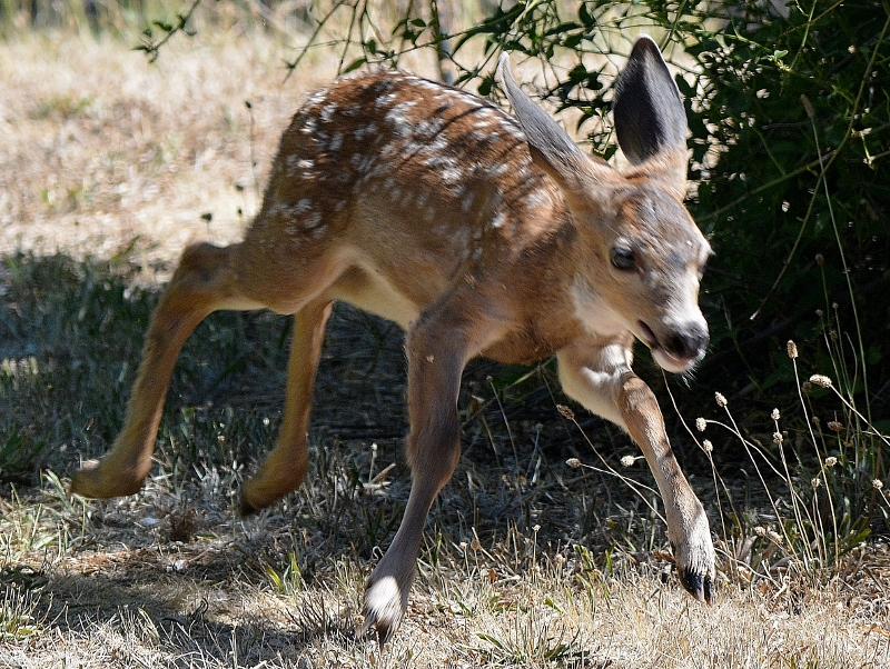 The fawn frequently practiced his running skills by dashing around the backyard. Kathy and I were amazed at how fast he could run.