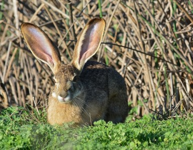 Sightings of thirty-five mammal species have been recorded inside the Sacramento National Wildlife Refuge Complex. Jackrabbits are commonly seen throughout the day. Cottontails scamper back and forth across the auto-tour roads before daylight. Black bear and mountain lion sightings are rare, but these larger mammals have been seen at the Sacramento River National Wildlife Refuge. Photo by Steven T. Callan.