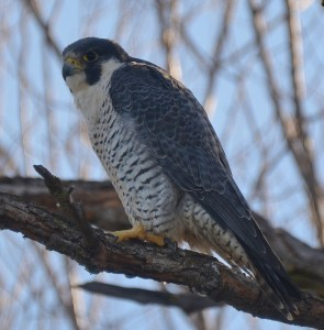 Seeing and photographing a peregrine falcon is the highlight of any visit to the Sacramento National Wildlife Refuge. This gorgeous raptor posed for Kathy and me early one morning last month. Photo by Steven T. Callan.