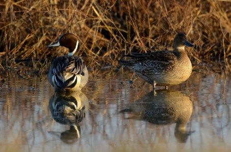 The best time to take photographs at the Sacramento National Wildlife Refuge is within an hour or two of sunup. The lighting is just right, and wildlife, like this pair of pintails, always look their best. Photo by Steven T. Callan.