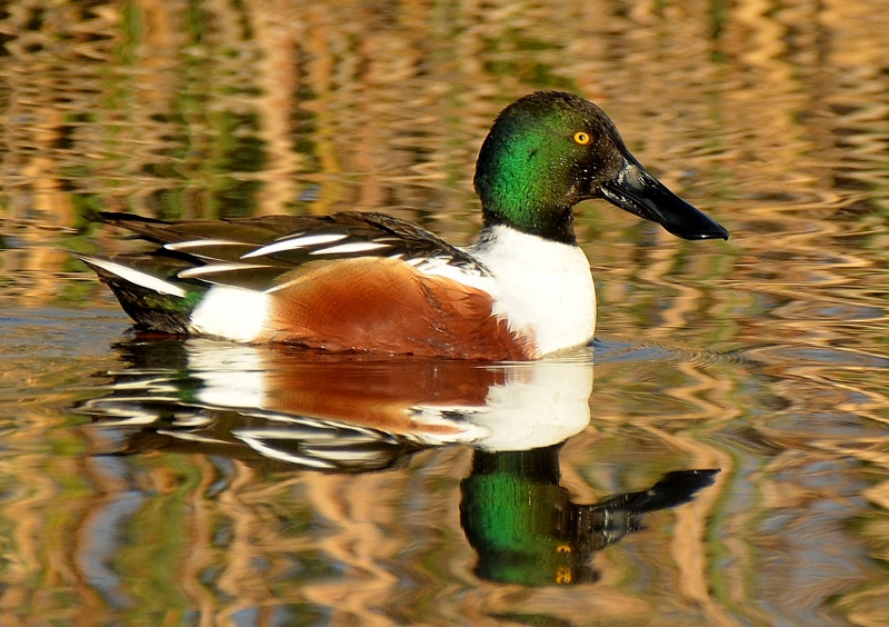 Birds like this drake northern shoveler show off their brilliant colors in the early morning light. Photo by Steven T. Callan.