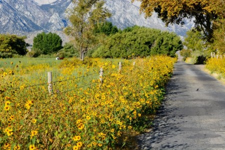 The blooming wild sunflowers that decorated Lubken Canyon Road made me think it was April, rather than late September. Photo by Steven T Callan.