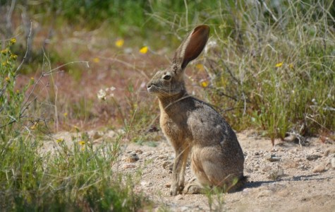 Jackrabbits can often be found in the desert washes of Joshua Tree National Park. Photo by Author Steven T. Callan.