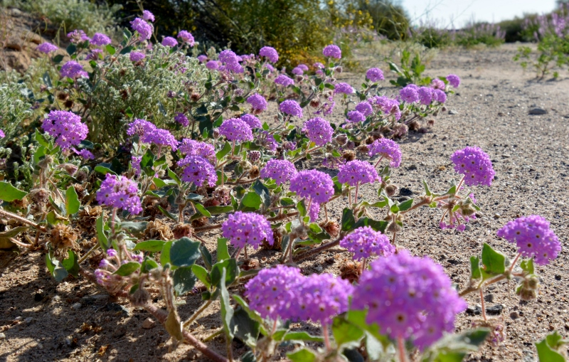 A desert sand verbena is shown growing in a sandy desert wash. Photo by Author Steven T. Callan.