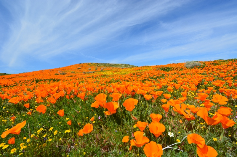 An ocean of California poppies surrounded us in the Antelope Valley. Photo by Author Steven T. Callan.