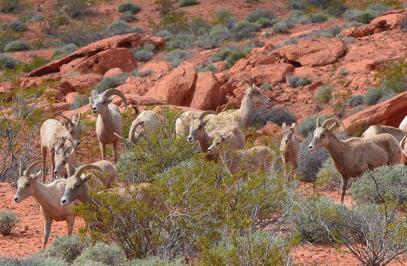 A herd of bighorn sheep, consisting mostly of ewes, with one ram and three lambs, at Valley of Fire State Park, Nevada. Photo by Author Steven T. Callan.