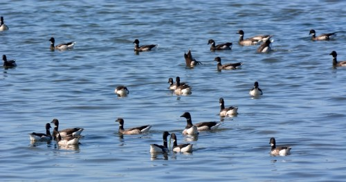 We spotted two large flocks of black brant feeding on eelgrass in the Morro Bay National Estuary. Photo by author Steven T. Callan.