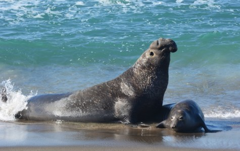 This beachmaster spent all of his time mating, catnapping, and chasing adult male intruders. Photo by author Steven T. Callan.