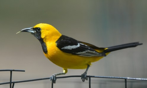 A hooded oriole visits the garden of author Steven T. Callan.