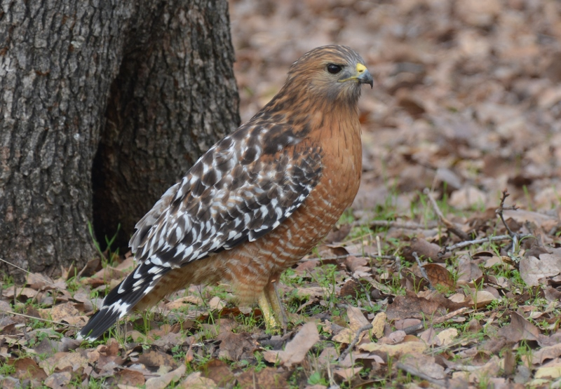 A red-shouldered hawk visits the backyard of author Steven T. Callan.