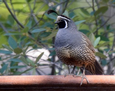 A rooster quail stands guard in the garden of author Steven T. Callan.