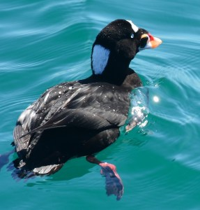 A surf scoter dives for clams at the William Randolph Hearst Memorial State Beach. Photo by author Steven T. Callan.