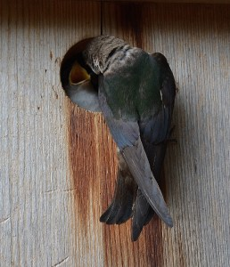 A violet-green swallow feeds its young in the backyard of author Steven T. Callan.