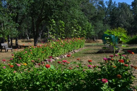 Wildlife-friendly zinnias and sunflowers grow in the backyard of author Steven T. Callan.