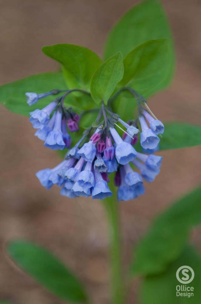 Virginia Bluebells 2