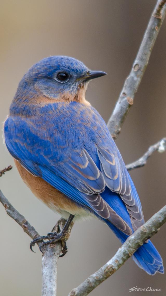 blueBird2_iPhone_Wallpaper