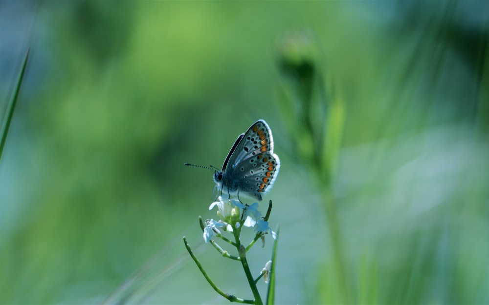 Common blue I think - must get the books