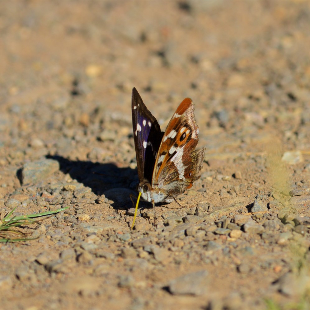 Male purple emperor on the path