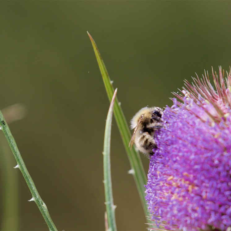 Carder bee on teasel