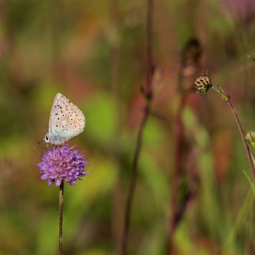 Chalkhill blue on devil's bit scabious
