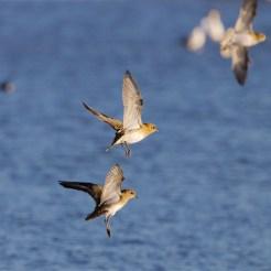 Golden plover landing back at the East Flood