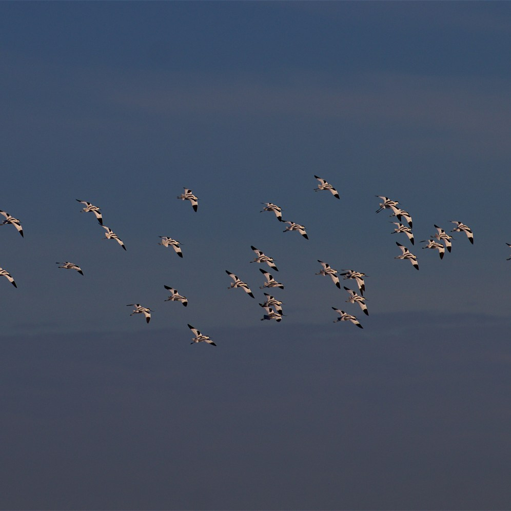 Wheeling avocet flock