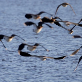 Lapwings on the move