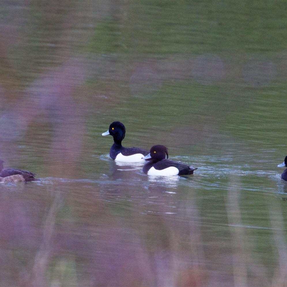 Tufted ducks on the alert