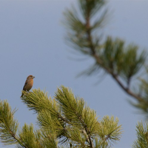Red crossbill male singing from a pine