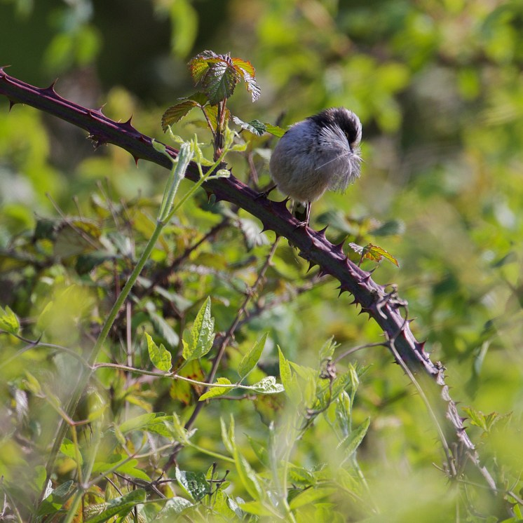 Nest building long-tailed tit