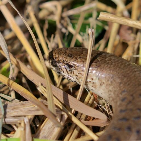 Large female slow worm