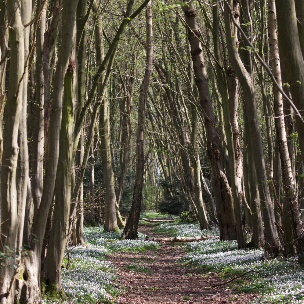 Avenue of hornbeam lined with wood anemone