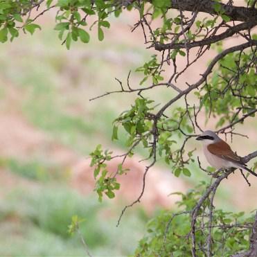 Male red backed shrike