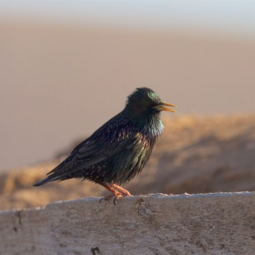 Breeding starling
