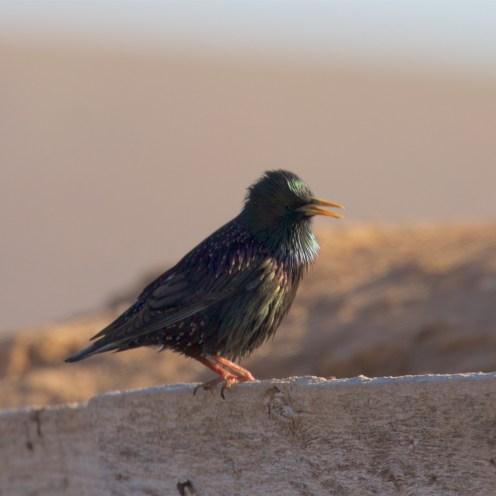 Breeding starling