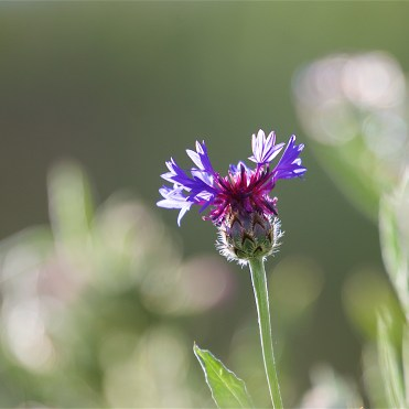 Cornflower - a common farmland flower