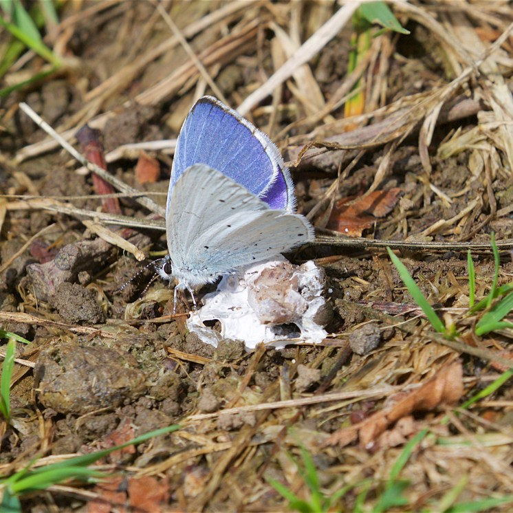 One male holly blue on a bird dropping