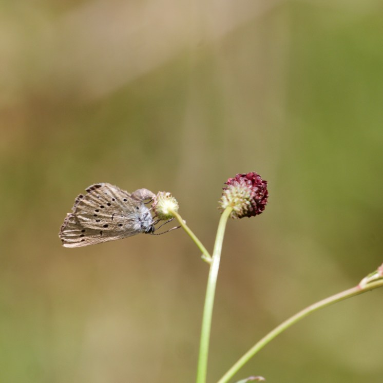 Egg laying on the base of a great burnet bud
