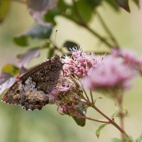 Great banded grayling on hemp agrimony