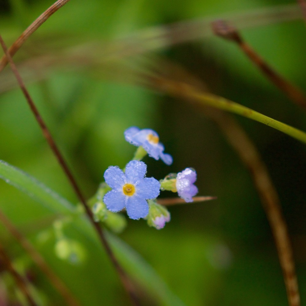 Marsh forget-me-not