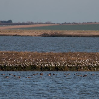 High tide wader roosts