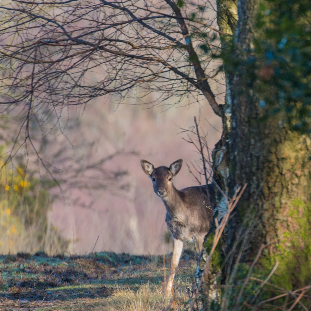 Fallow doe at the forest edge