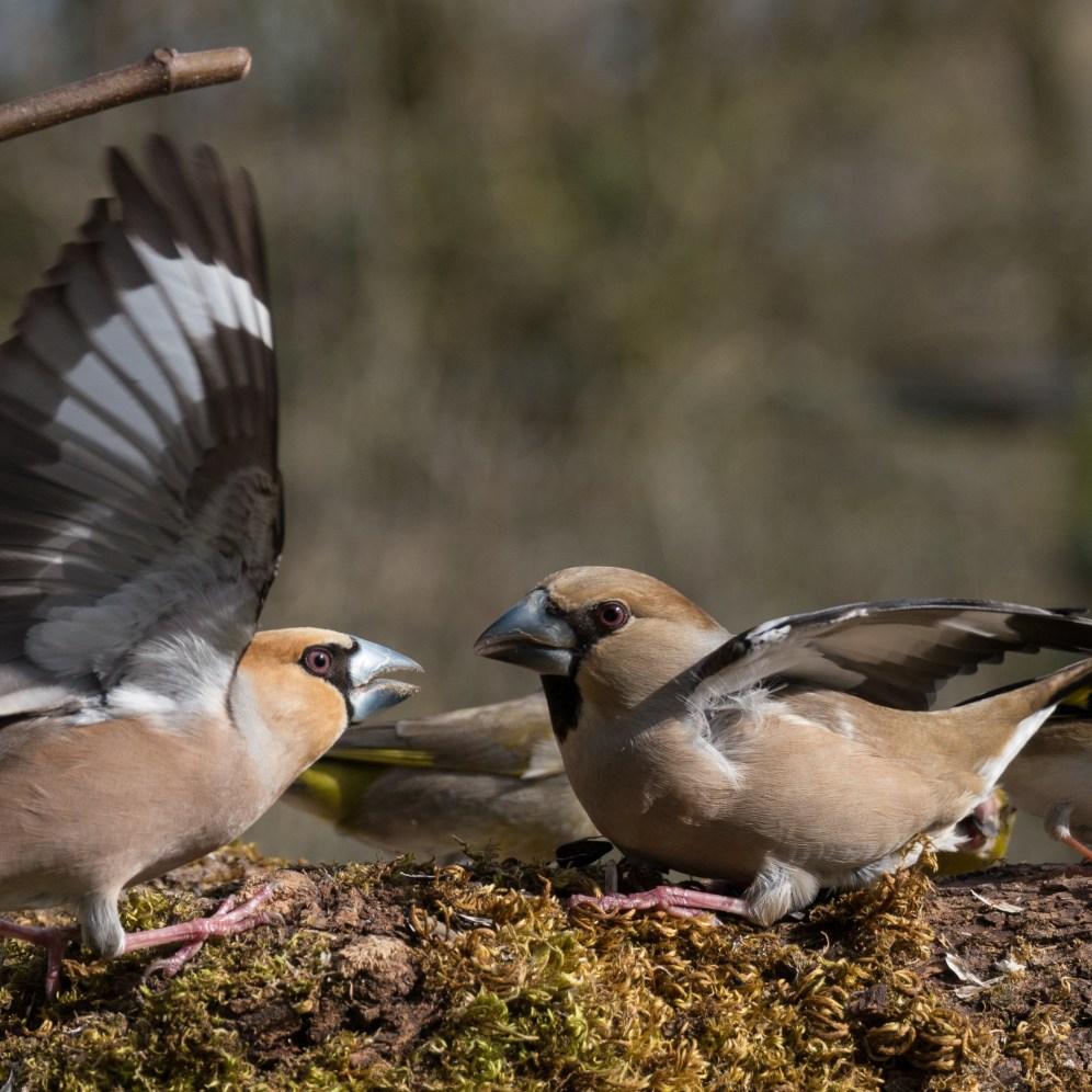 Hawfinch wars 2