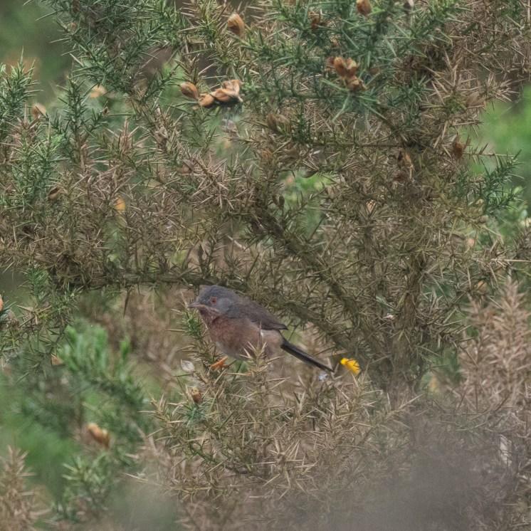 Beautifully camouflaged Dartford warbler