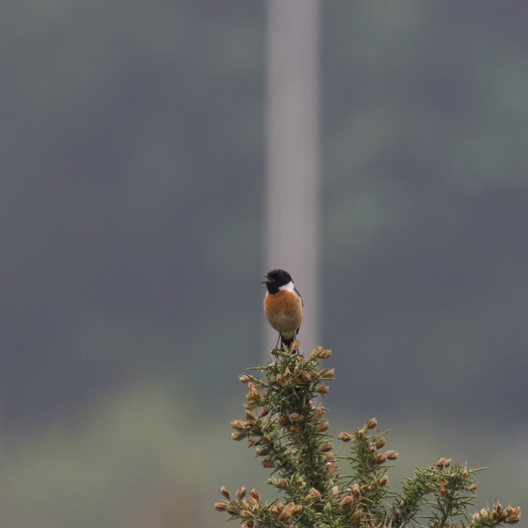 Male stonechat with flagpole behind