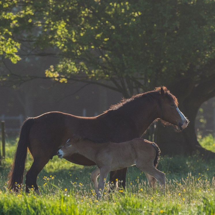 Bay mare and foal