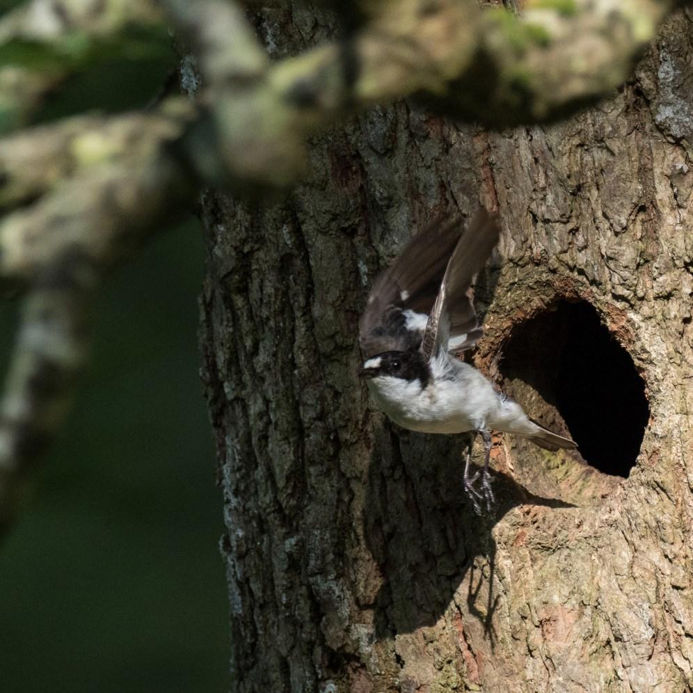 Male pied flycatcher leaves its nest site in an ancient oak